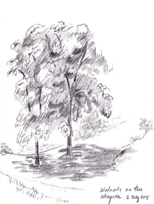 Walnut Trees Sketch_NEW_0001